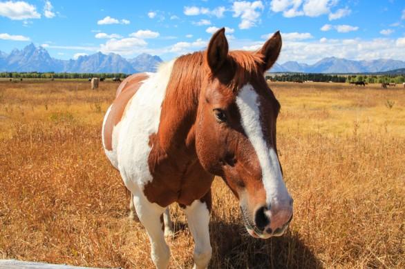 Grand Tetons Horse