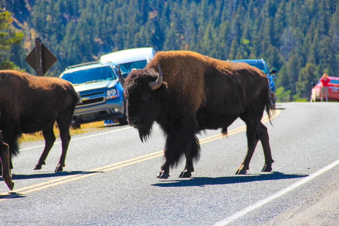 Yellowstone Bison, Yellowstone National Park, Wyoming