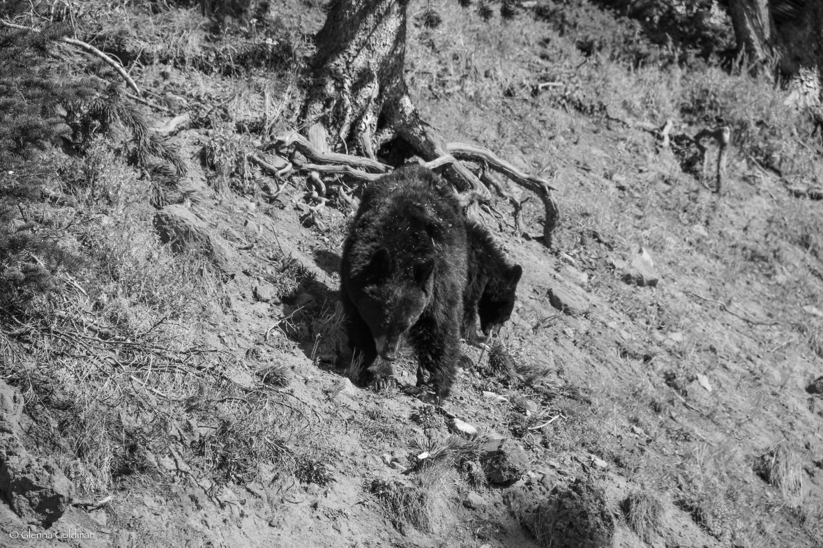 Bear Yellowstone National Park
