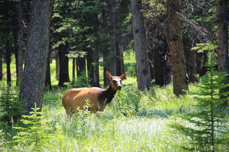 Elk in Banff Forest