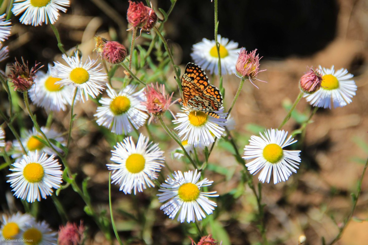 Butterfly on Flowers in Flagstaff